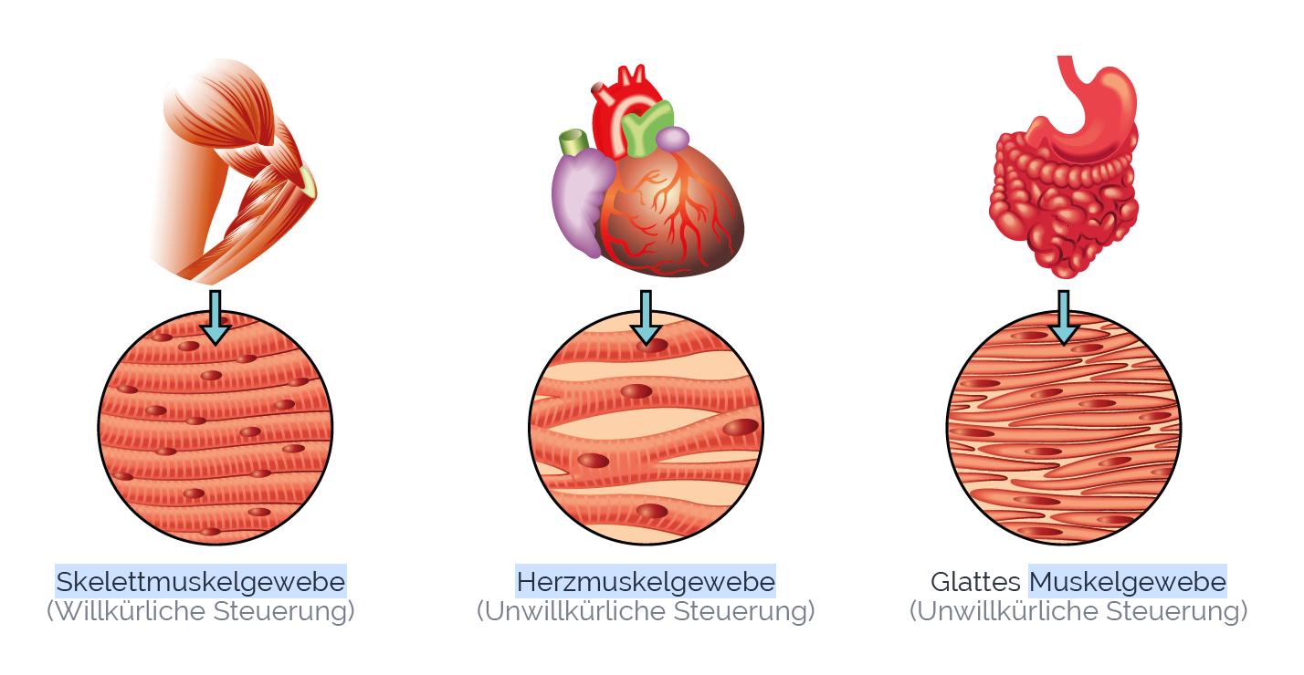 Muskelgewebe (quergestreifte & glatte Muskulatur)